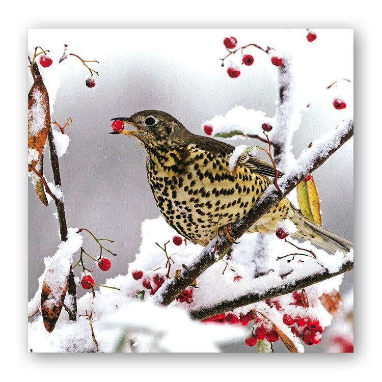 Mistle Thrush Christmas Card from Dormouse Cards