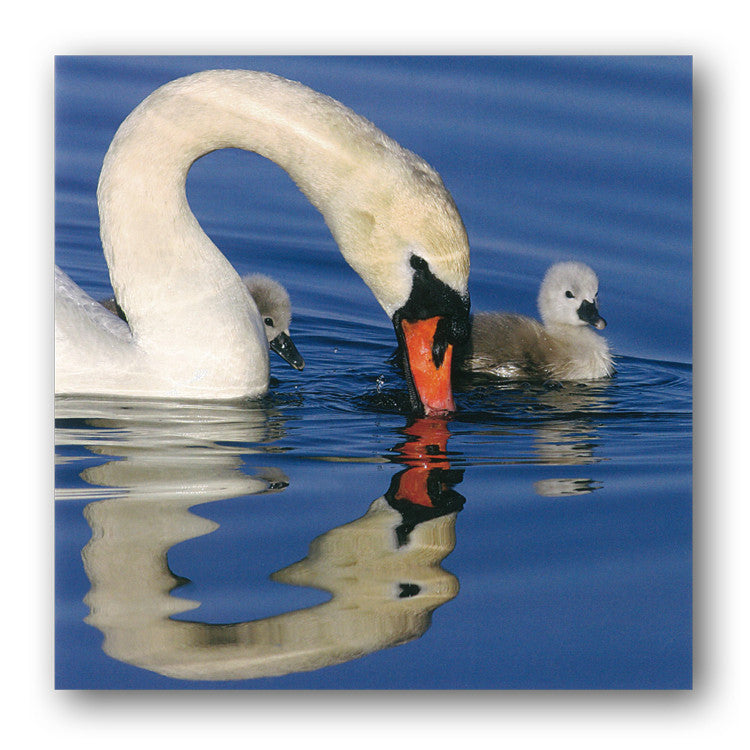 Mute Swans Greetings / Birthday Card from Dormouse Cards