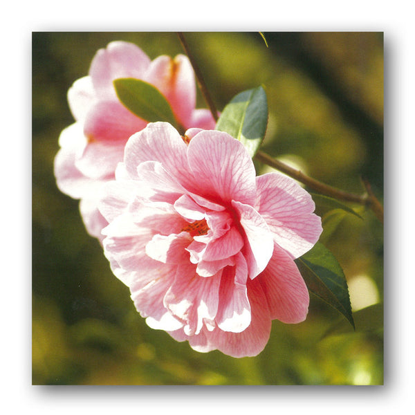 Camellia Birthday Card from Dormouse Cards