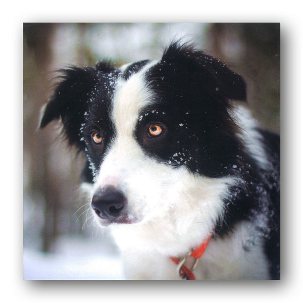 Lava the Border Collie Birthday Greetings Card from Dormouse Cards