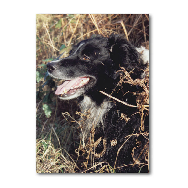 Border Collie Sheepdog Birthday Card from Dormouse Cards