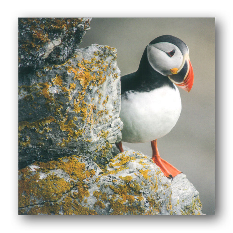 BBC earth Puffin Greetings Card from Dormouse Cards