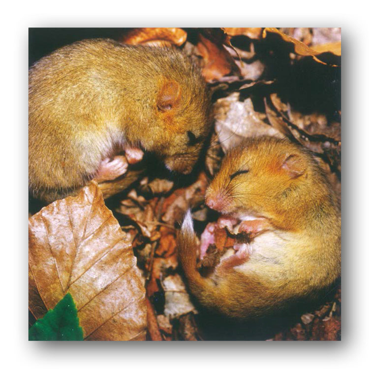 Woodland Trust Baby Dormice Greetings Card from Dormouse Cards