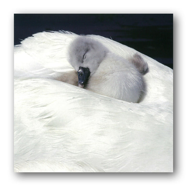 Mute Swan & Cgynet Greetings Birthday Card from Dormouse Cards