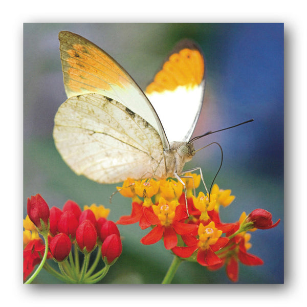 Great Orange Tip Butterfly Greetings Birthday Card from Dormouse Cards