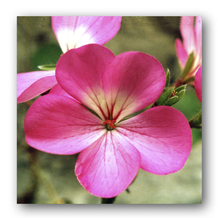 Pink Geranium Notelets from Dormouse Cards