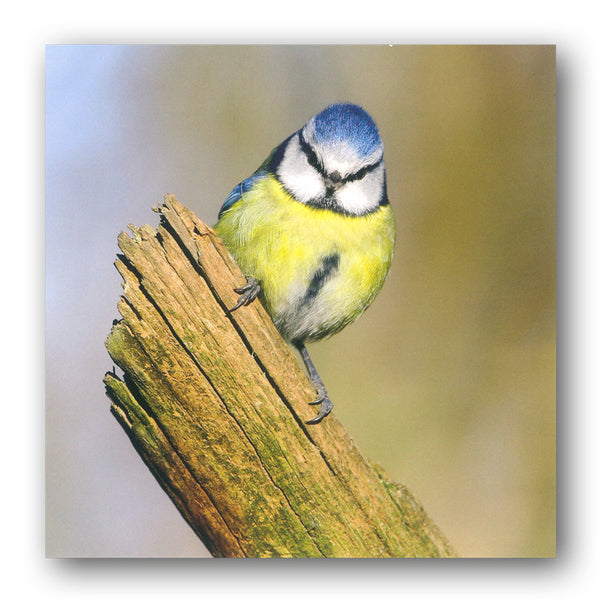 BBC earth Blue Tit Greetings Card from Dormouse Cards