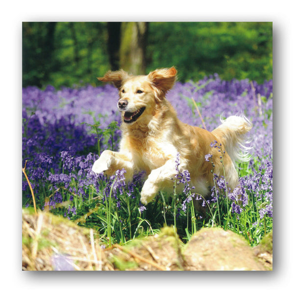 Golden Retriever on the Bluebells Woods Greetings or Birthday Card from Dormouse Cards