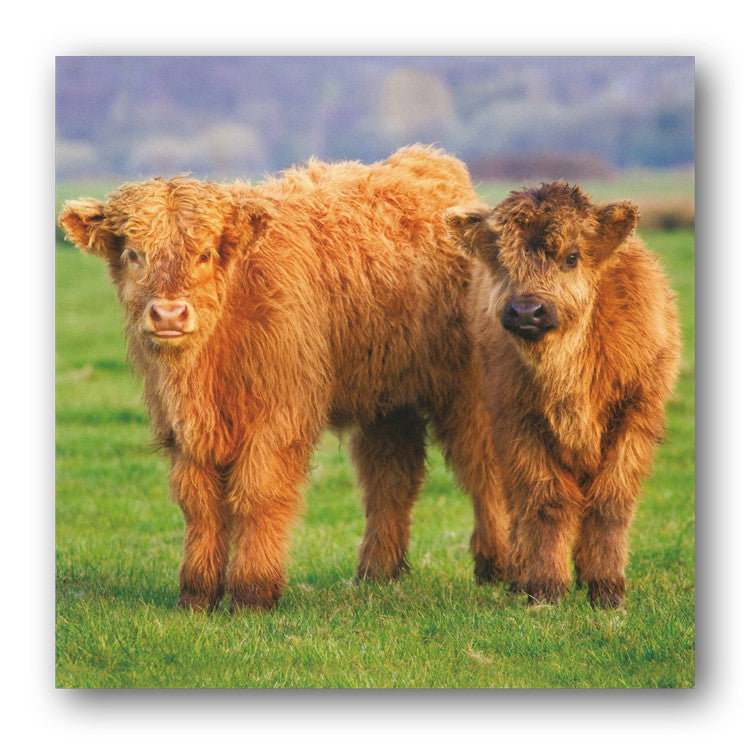 Highland Calves Greetings or Birthday Card from Dormouse Cards