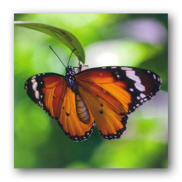 BBC earth Tiger Butterfly Greetings Card from Dormouse Cards