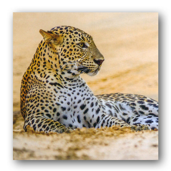 BBC earth Leopard in sand Greetings Card from Dormouse Cards