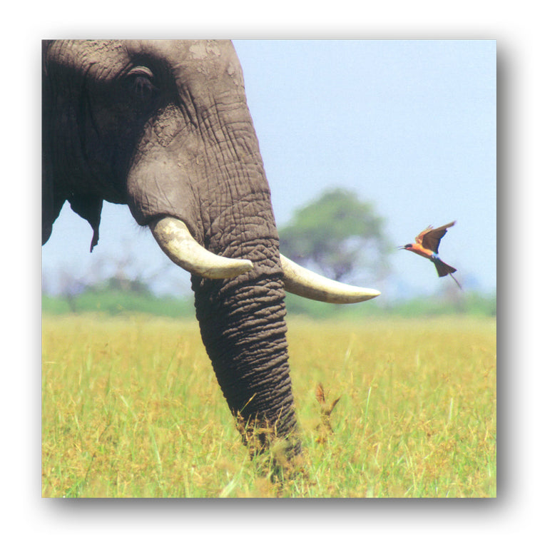 BBC earth Planet Eart II African Bull Elephant Greetings Card from Dormouse Cards