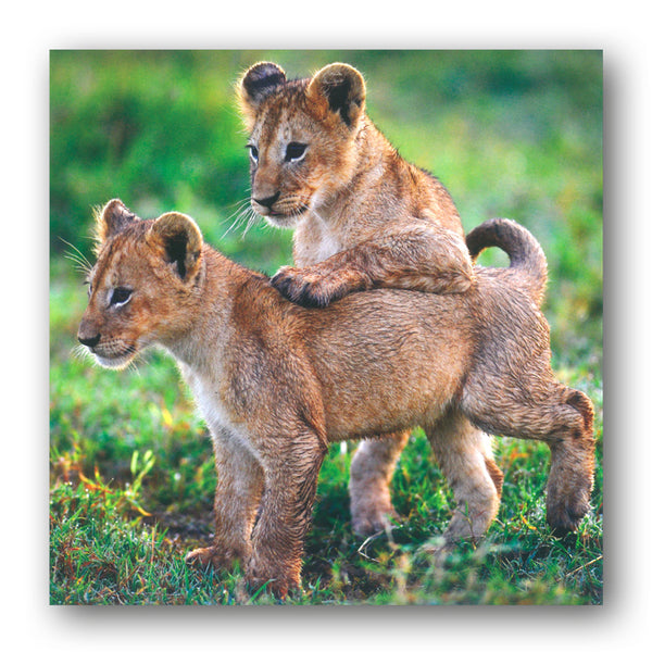 BBC earth Planet Earth II Lion Cubs Greetings Cards from Dormouse Cards