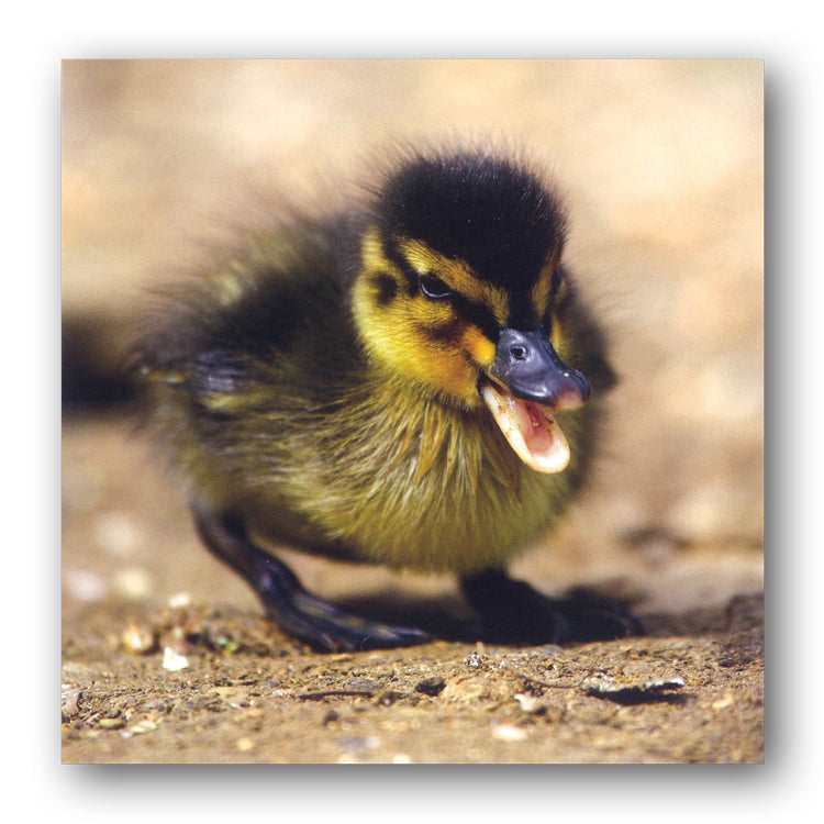 BBC earth Mallard Duckling Greetings Birthday Card from Dormouse Cards