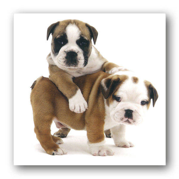 Bulldog Puppies Birthday Greetings Card, buy online from Dormouse Cards