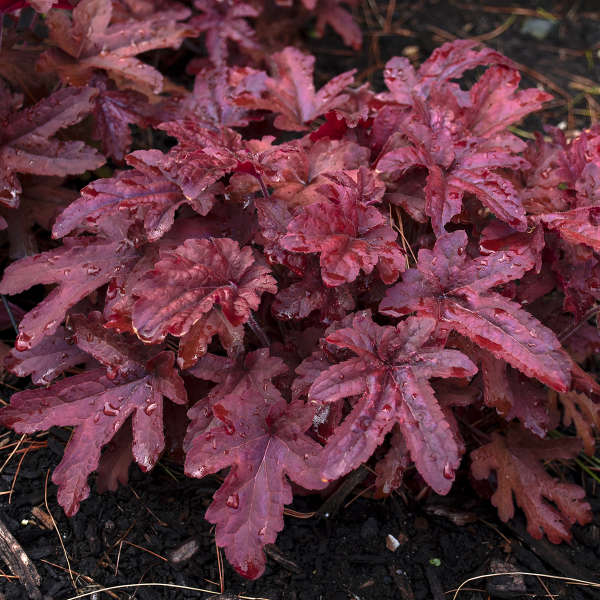 Heucherella Red Rover