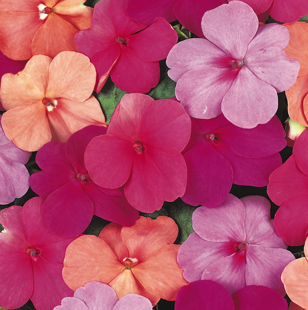 Impatiens Super Elfin Series