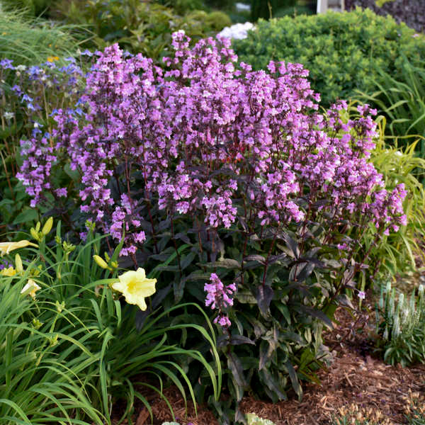 Penstemon 'Midnight Masquerade