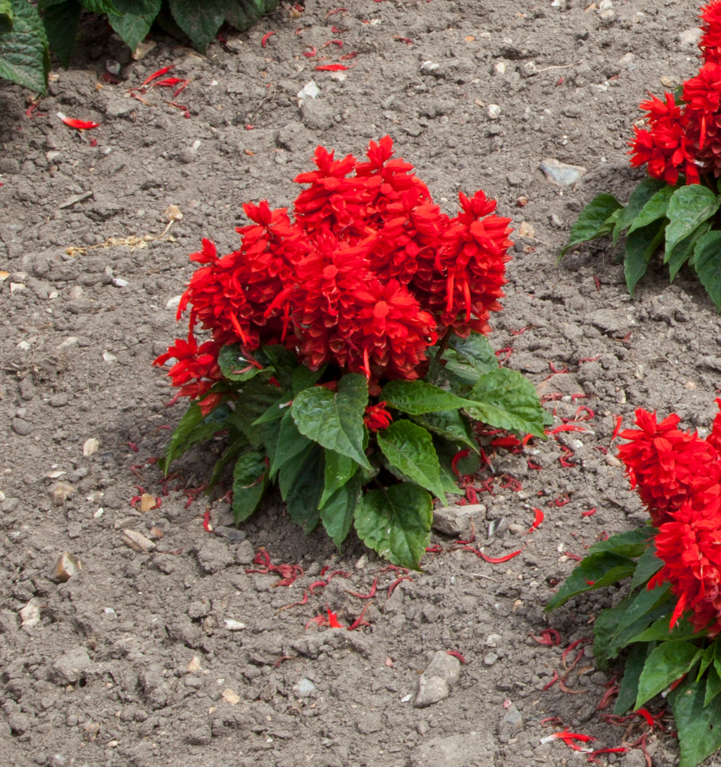 Salvia Sentry Red