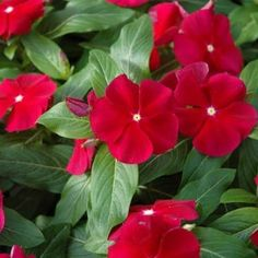 Vinca Mega Bloom