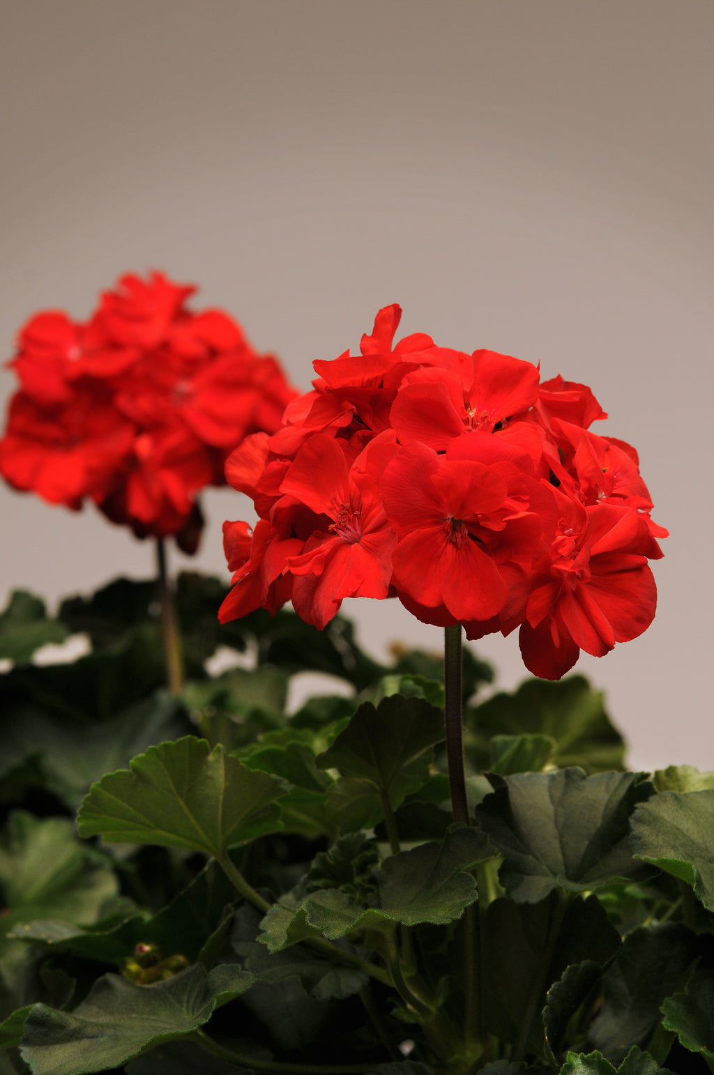 "Potted Geraniums BUY 7 get 1 FREE (5"" Geranium only)"