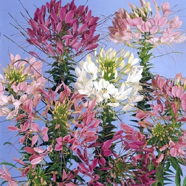 Cleome Queen series