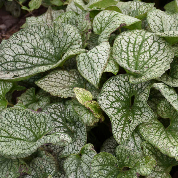Brunnera macrophylla 'Queen of Hearts'