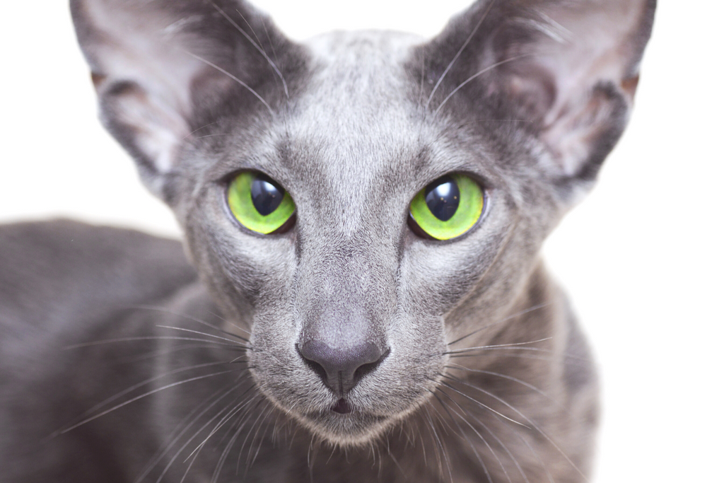 Oriental cat with green eyes and an unusual face is good for those who have cat allergies