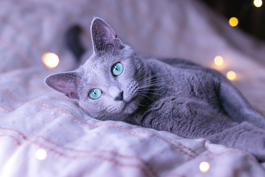 Russian Blue cat is beautiful with a gray coat and good for those who have cat allergies