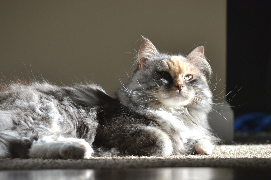 Beautiful siberian long haired cat sitting in the sun, this cat is good for those who suffer from cat allergies