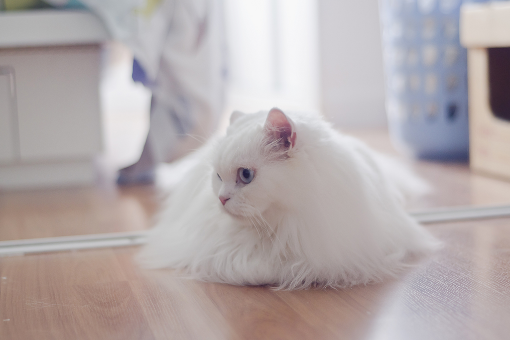 A white long haired cat sitting on the floor feeling anxious