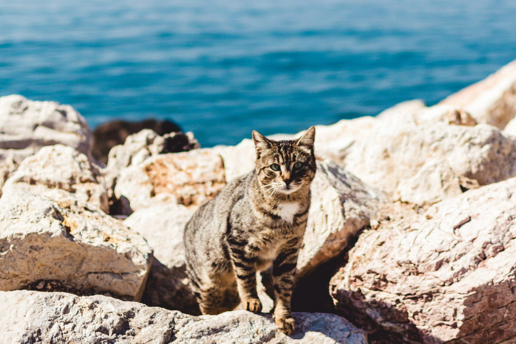 Creepy cat facts to get you in the Halloween spirit, did you know cats can drink seawater.