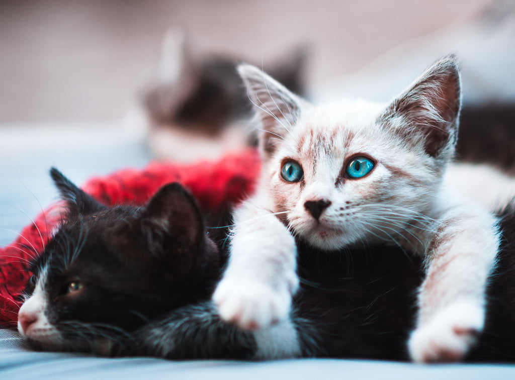Creepy cat facts to get you in the Halloween spirit, here's a picture of two kittens, did you know that cats can have up to 19 kittens in one litter?
