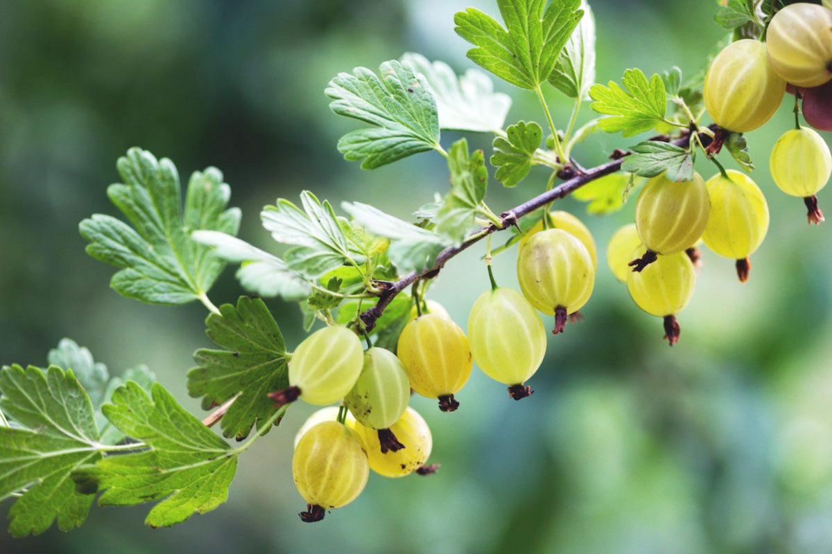Know Your Spices - Indian Gooseberry or Amla