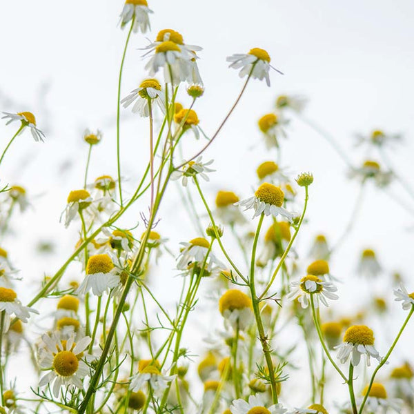 Ingredient Spotlight: Sweet, Soothing Chamomile