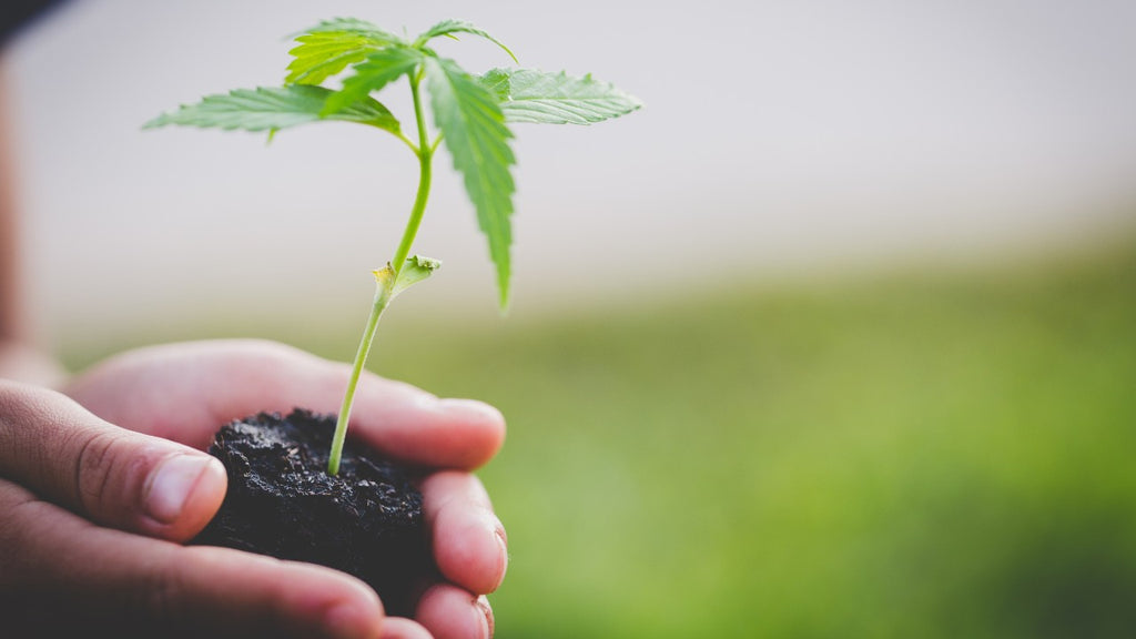 A young hemp plant packaged in damp soil being held by two hands outside near a garden