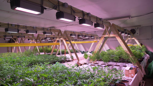 Room full of HOLISTIK Hemp plants growing under the LED lights before being moved to the production greenhouse