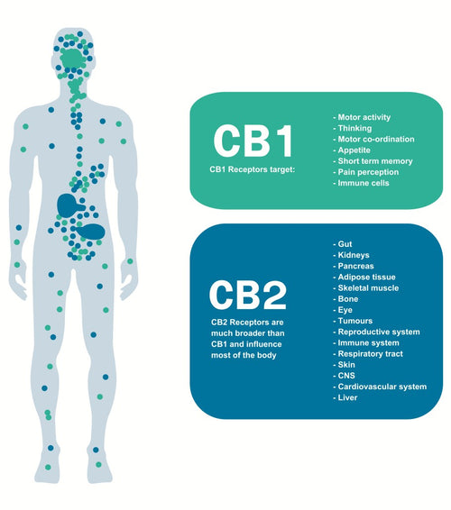 Image of the Endocannabiniod System explaining what the CB1 and CB2 receptors control