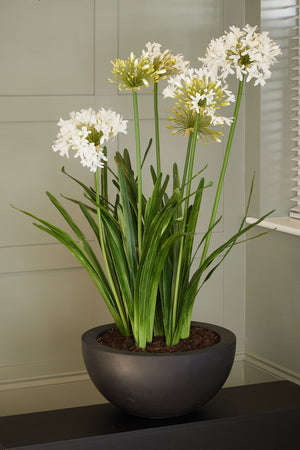 Agapanthus in a Black Bowl