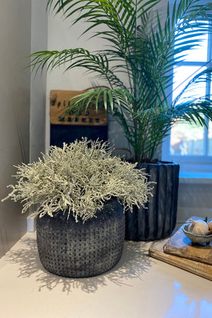 Curly Grass in a Grey Dotty Pot