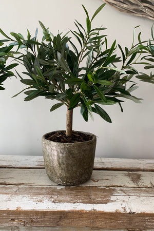 Mini Olive Tree in a Stone Pot
