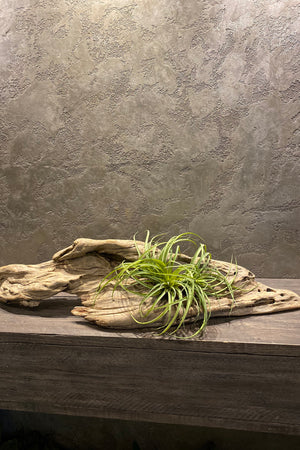 Airplants in Bespoke Driftwood