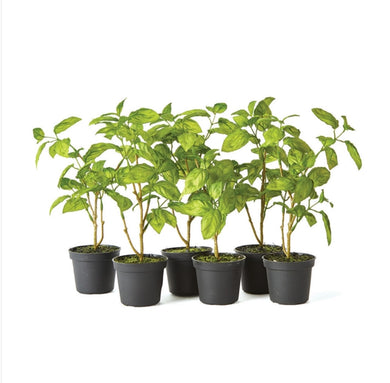 Basil Drop-In, Set of 3