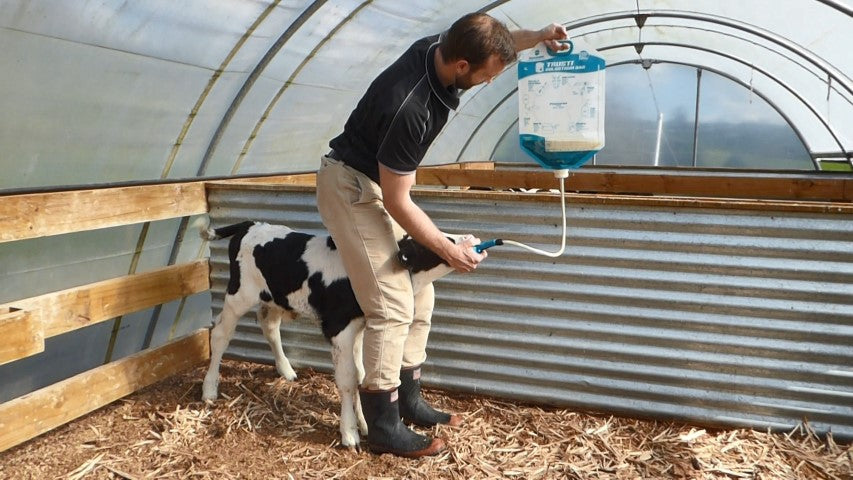 Perfect standing position to tube feed or drench a calf