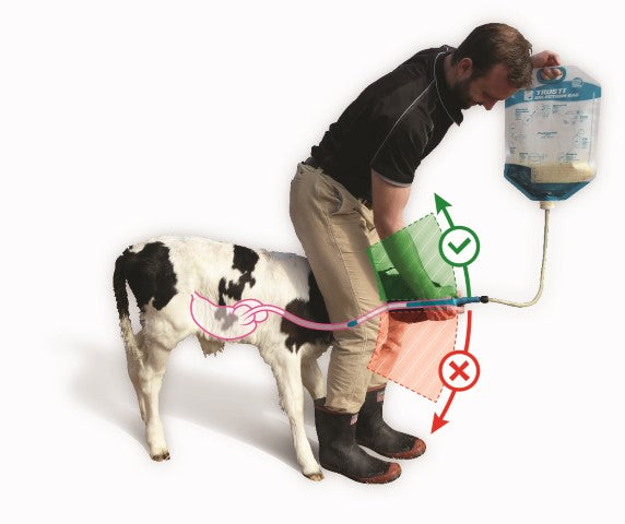 Drench a calf safely
