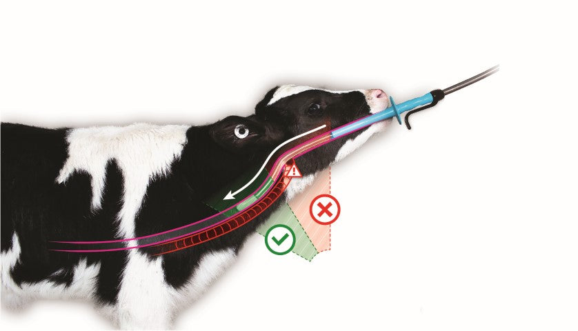 How far to pass a tube when drenching a calf