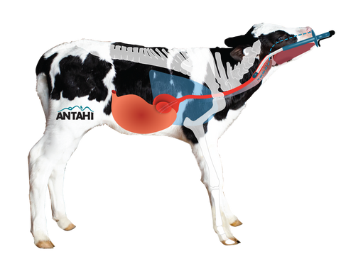 Anatomy for safe gentle calf drencher Trusti Tuber