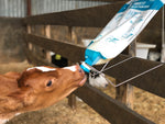 Calf feeding from Colostrum Bag