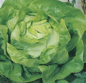 Lettuce (All Year Round)