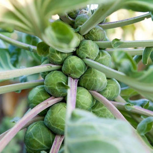 Brussels Sprouts (Evesham Special)